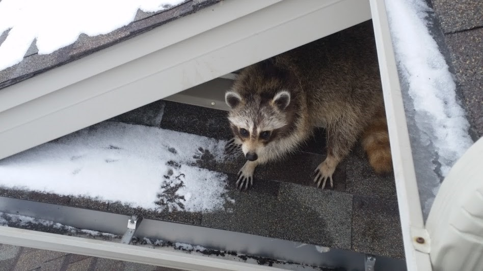Cold Winters Can Bring Rodents Like Raccoons And Squirrels