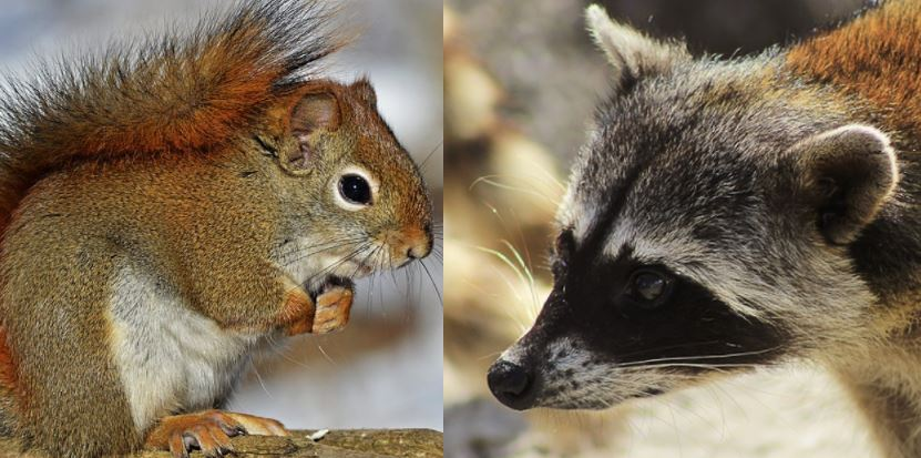 Now that spring is here squirrels and raccoons become more active